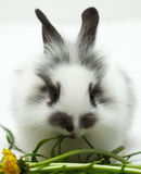 Lapin mangeant une herbe Images stock