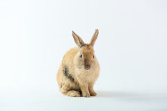 Lapin mignon de Brown photo libre de droits