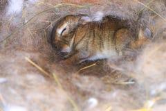 Lapin mignon de sommeil dans le nid avec ses cheveux du ` s de mère Photographie stock libre de droits