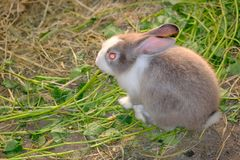 Lapin mignon sur la race d'herbe en Asie un mammifère d'usine-consommation avec l Photo libre de droits