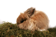 Lapin nain Photographie stock