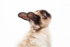Lapin nain angora Photo libre de droits