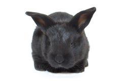 lapin noir de chéri photos stock