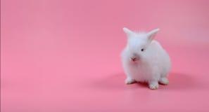 Lapin pelucheux blanc se reposant sur le fond rose, le petit lapin blanc et l'espace de copie Photos libres de droits