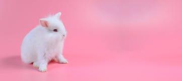 Lapin pelucheux blanc sur le fond rose, le petit lapin blanc et l'espace de copie Photos stock