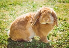 Lapin rouge sur l'herbe verte image stock