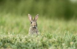 Lapin sauvage Photo stock