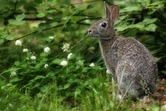 Lapin sauvage Photo libre de droits