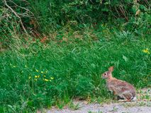 Lapin sauvage dans l'herbe Image stock