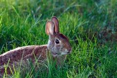 Lapin sauvage dans l'herbe Photographie stock libre de droits