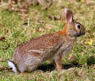 Lapin sauvage dans le lapin de brun du Michigan photos libres de droits