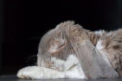 Lapin sauvage de lapin comme animal familier à la maison image libre de droits