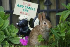 Lapin sauvage se régalant dans le jardin photos stock