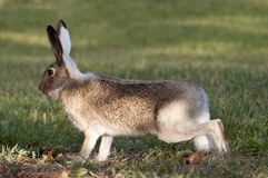 Lapin sauvage sur l'alerte rouge Photos stock