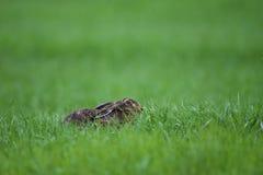 Lapin se couchant sur une herbe image libre de droits
