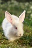 Lapin Snow-white image libre de droits