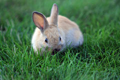 Lapin sur l'herbe Photographie stock