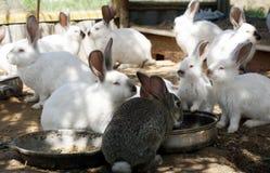 lapins Image libre de droits