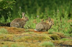 Lapins Image stock