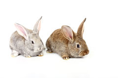 lapins Images stock
