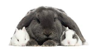 Lapins aux oreilles tombantes de lapin et de jeunes, d'isolement Images stock