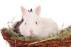 Lapins blancs et gris de chéri dans un panier Images stock