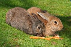 Lapins dans l'herbe verte Photo stock