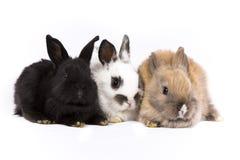 Lapins de lapin Image stock