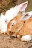 Lapins de sommeil Photos libres de droits
