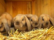 Lapins de source Photo stock
