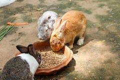 Lapins mangeant de la nourriture de lapin Photo libre de droits