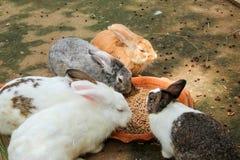 Lapins mangeant de la nourriture de lapin Photos libres de droits