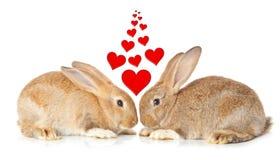 Lapins mignons de remorquage dans l'amour Photos libres de droits