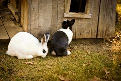 Lapins noirs et blancs Photo stock