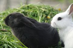 Lapins noirs et blancs de bébé sur l'herbe verte Photos libres de droits