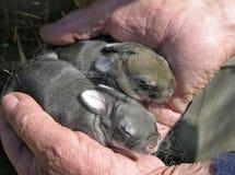 Lapins nouveau-nés Photo libre de droits