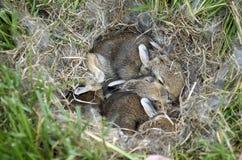 Lapins sauvages de bébé dans un nid Photographie stock