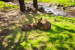 Lapins sauvages mignons dans le zoo, Margaret Island, Budapest images stock