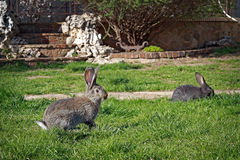 Lapins sur l'herbe Image stock
