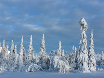 Lapland. Snow-covered trees in Lapland at the end of the polar winter stock photo