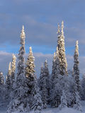 Lapland. Snow-covered trees in Lapland at the end of the polar winter stock photography