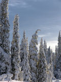 Lapland. Snow-covered trees in Lapland at the end of the polar winter royalty free stock images