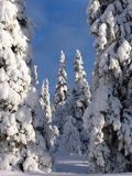 Lapland. Snow-covered trees in Lapland at the end of the polar winter royalty free stock photos