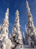 Lapland. Snow-covered trees in Lapland at the end of the polar winter stock image