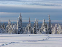 Lapland. Snow-covered trees in Lapland at the end of the polar winter royalty free stock photo