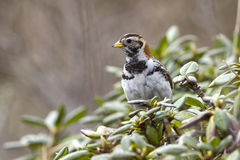 Lapland Bunting female is sitting on a branch near the Royalty Free Stock Image