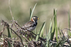 Lapland Bunting female sitting on a branch in tundra Stock Photography