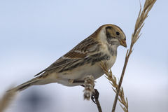 Lapland Bunting sitting on a branch Leymus head turned cloudy da Stock Photography