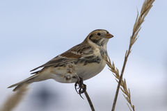 Lapland Bunting sitting on a branch Leymus winter day Royalty Free Stock Photo
