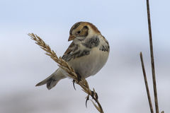 Lapland Bunting sitting on a branch and looking down winter day Royalty Free Stock Photography